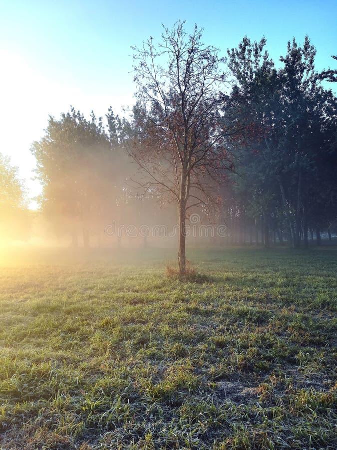 Boom in de vroege de winterochtend De stralen van de zon breken door de mist stock fotografie
