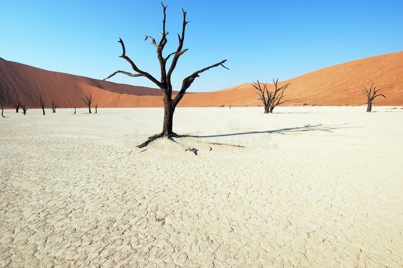 Boom in de woestijn - Deadvlei royalty-vrije stock afbeeldingen