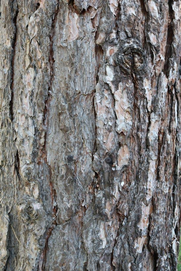 Boom, detail van de schors, Schotse Pijnboom royalty-vrije stock fotografie