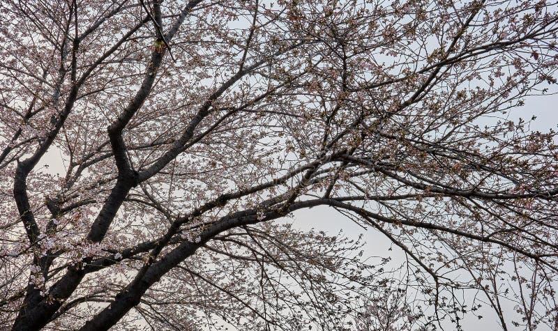 Boom die aan het recht met het hoogtepunt van kersenbloesems op zijn takken leunen royalty-vrije stock foto's