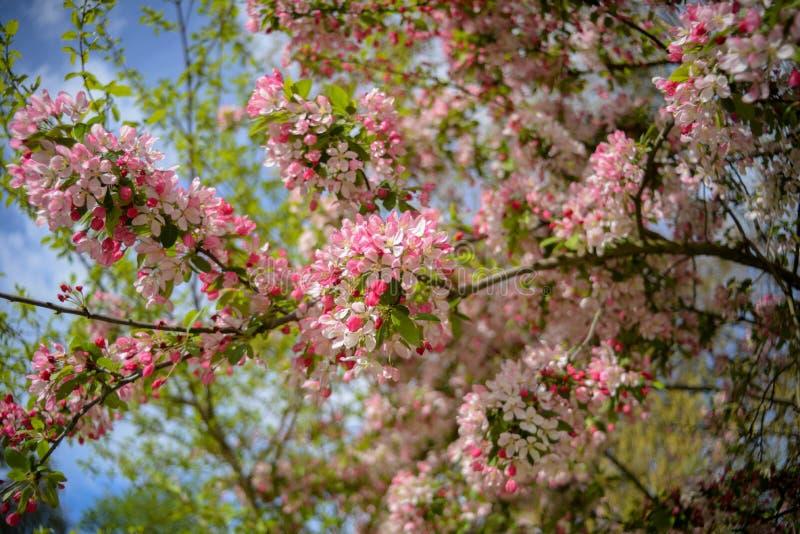 Boom die met roze en witte bloemen bloeien stock afbeeldingen