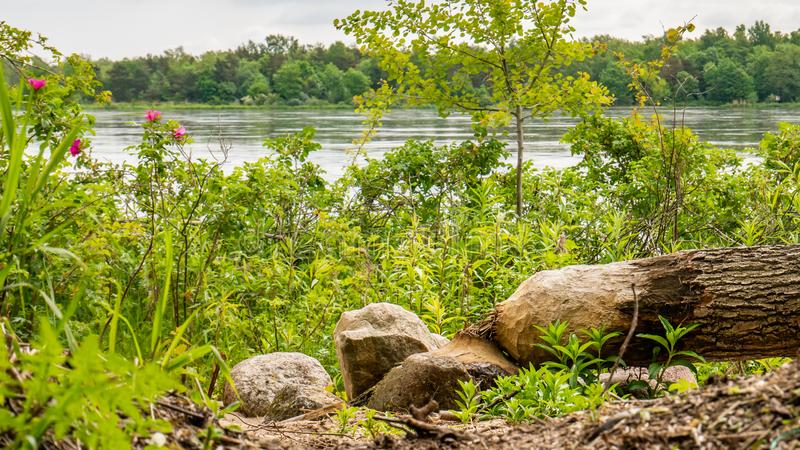 Boom door een bever dichtbij een Vistula-rivier wordt verminderd die stock fotografie