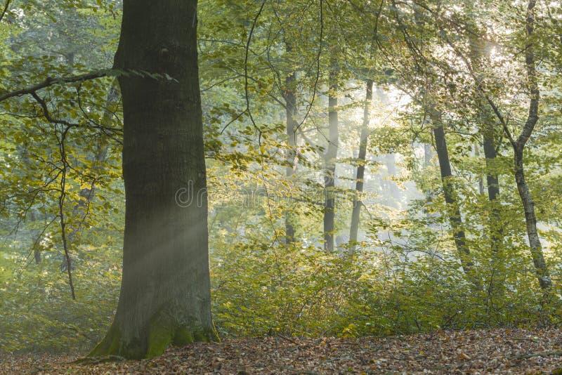 Boom door vroeg ochtendzonlicht wordt omringd die door bos porren dat stock afbeeldingen