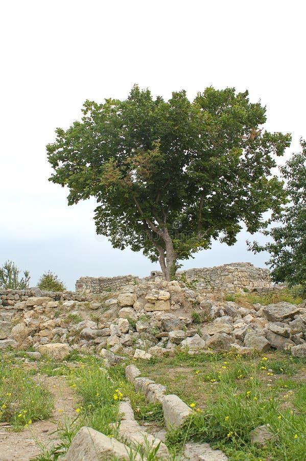 Boom en ruïnes van Chersonese Taurian stock foto's