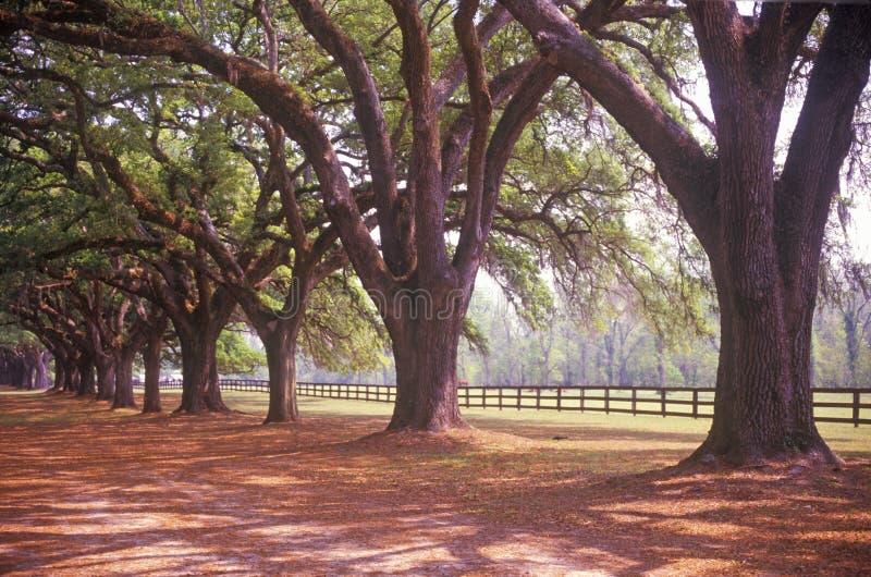 Boom gevoerde weg in Boone Hall Plantation, Charleston, Sc stock foto's