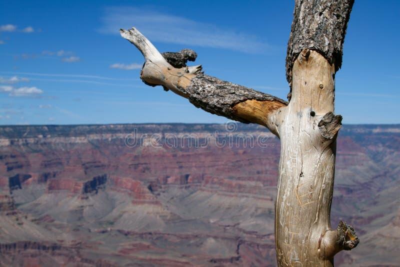 Boom Grand Canyon royalty-vrije stock foto's