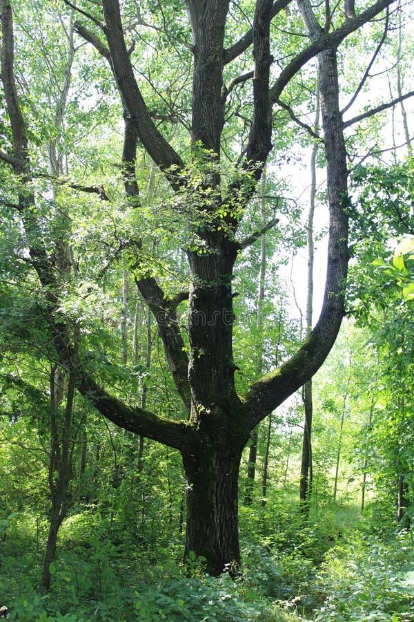 Boom in het bos stock afbeeldingen