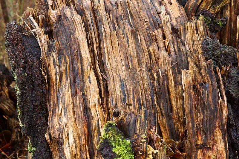 Boom in het bos oude gebroken nat gevallen stock afbeelding