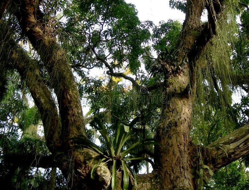 Boom in het Regenwoud Uit de Amazone stock foto