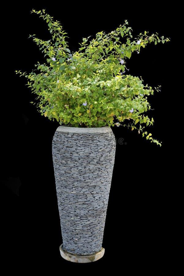 Boom houseplant voor decoratie in uitstekende concrete pottenisola royalty-vrije stock afbeelding