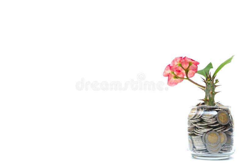 Boom met bloemen die op glasspaarvarken groeien van stapel van muntstukken met witte achtergrond, Geldstapel voor bedrijfs planni stock afbeelding