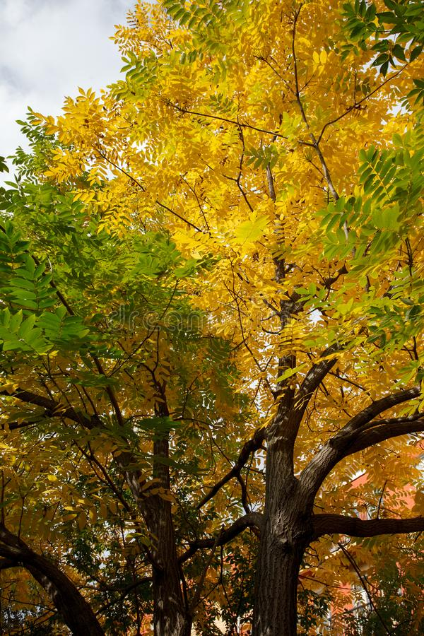 Boom met gouden bladeren in de herfst en zonnestralen, het seizoenachtergrond van de de herfstdaling stock foto