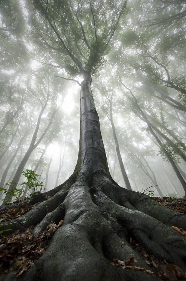 Boom met grote wortels in verrukt bos met mist royalty-vrije stock afbeeldingen