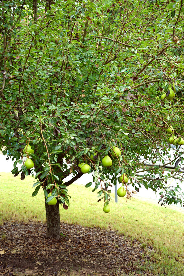 Boom met laag hangend fruit stock afbeelding