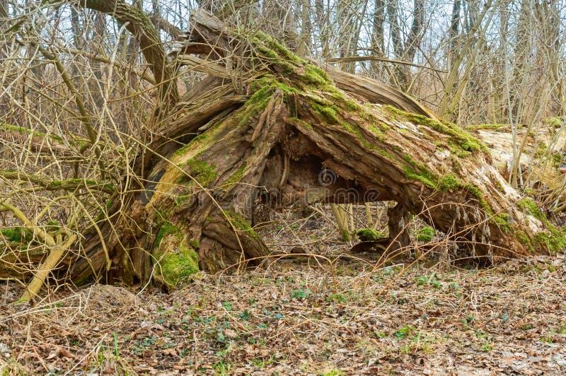 Boom met mos en korstmos, oude gebroken boom in het bos wordt behandeld dat stock foto