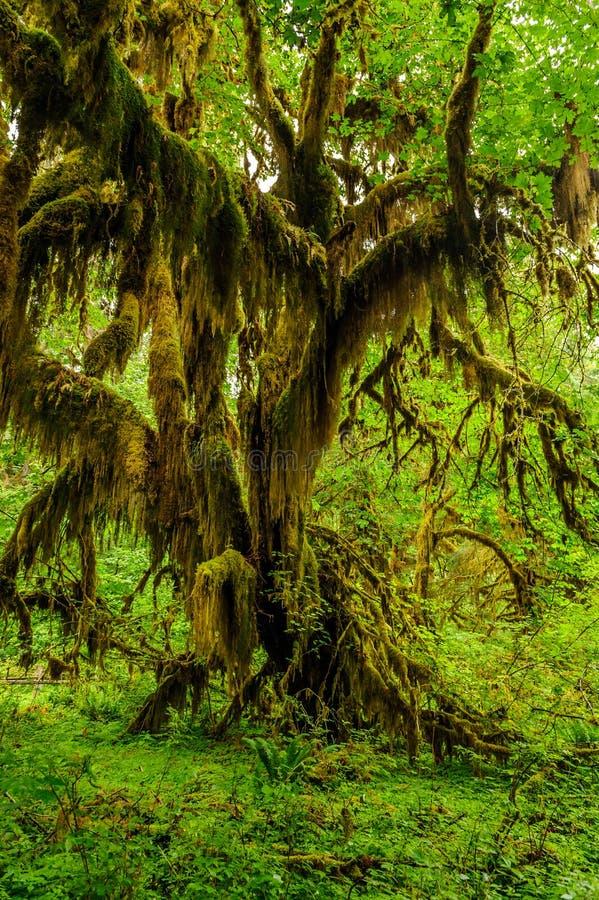 Boom met mos in het regenwoud wordt behandeld dat stock fotografie