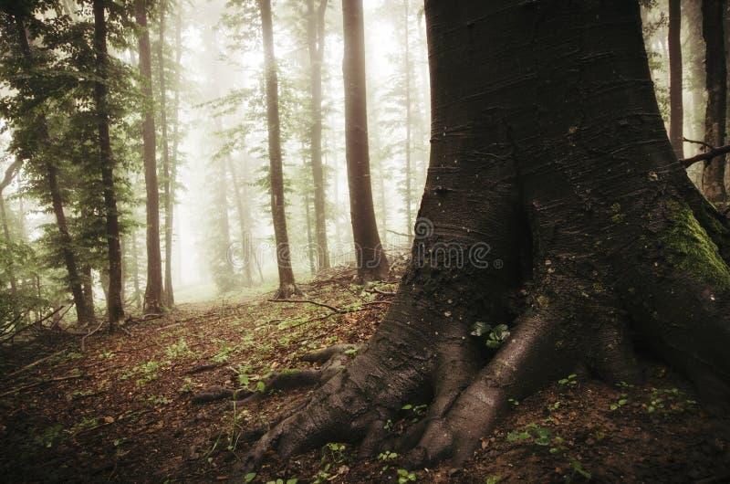 Boom met reuzewortels in geheimzinnig de herfstbos met mist royalty-vrije stock foto