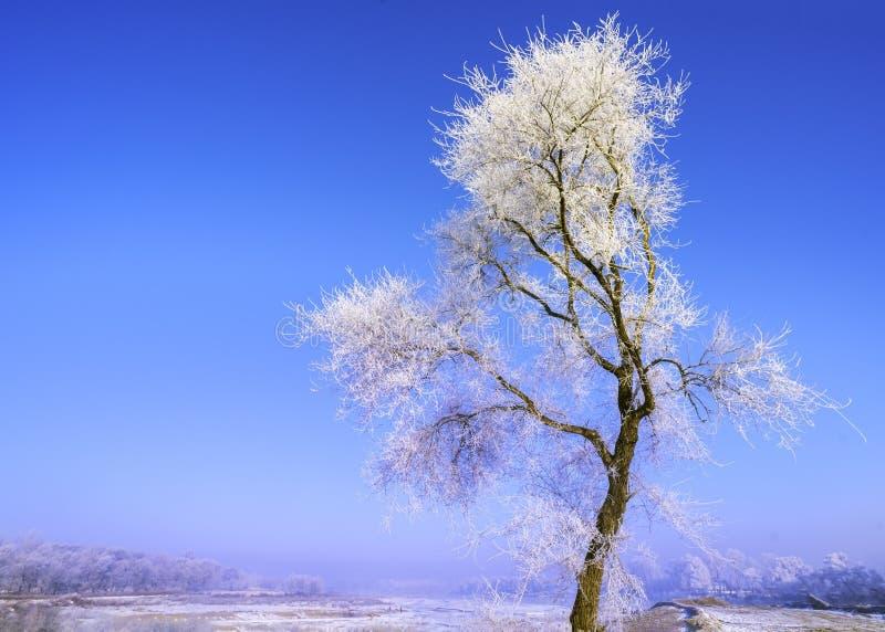 Boom met rijp in de koude ochtend in de Winter royalty-vrije stock foto's