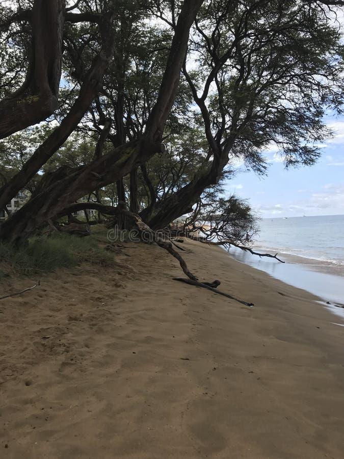 Boom op een strand in Hawaï stock afbeeldingen