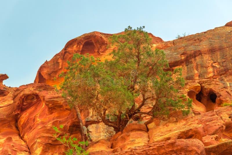 Boom op rotsenpetra genoemd Rose City Petra is één van de nieuwe Zeven Wereldwonders royalty-vrije stock fotografie