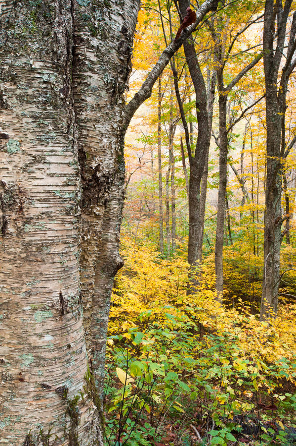 Boom van de Berk van de herfst de Gele & Appalachian Bos stock afbeeldingen