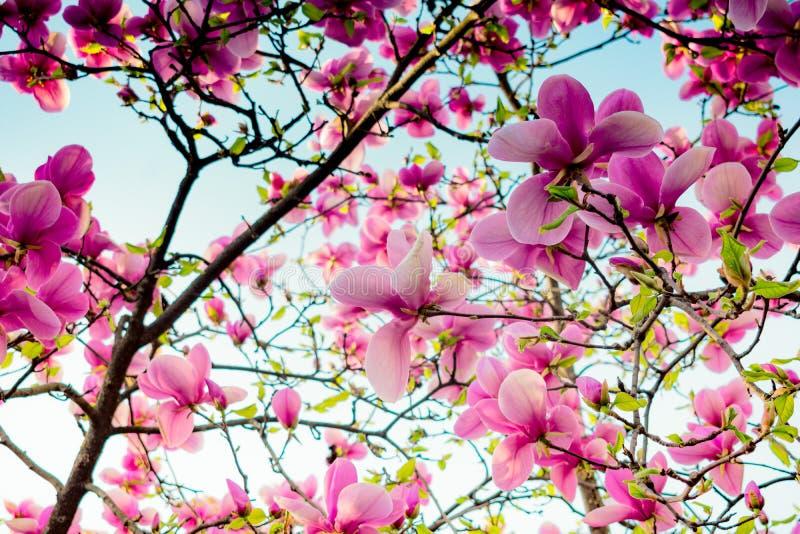 Boom van de frambozen de heldere Magnolia op een blauwe hemelachtergrond stock afbeelding