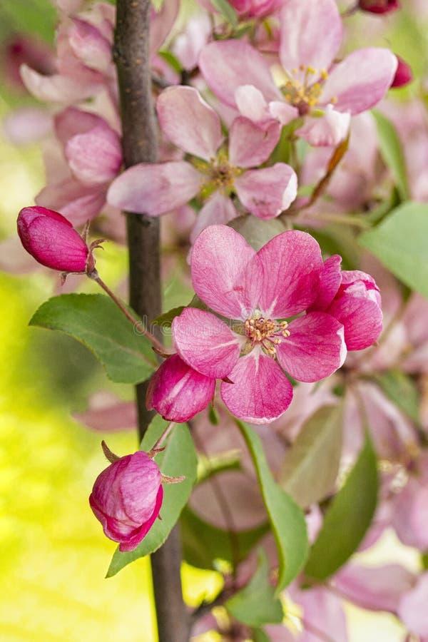 Boom van de krab de tot bloei komende appel, de tak verticale van de achtergrond fruitboom behangprentbriefkaar stock foto's