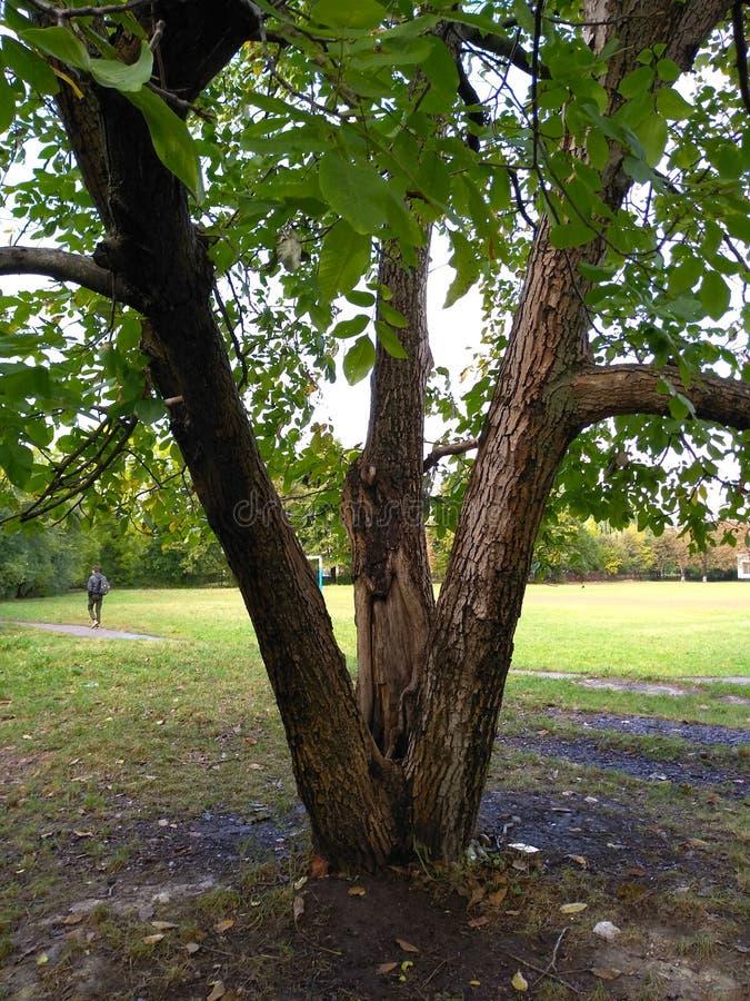 Boom van de okkernoot in de herfst royalty-vrije stock fotografie
