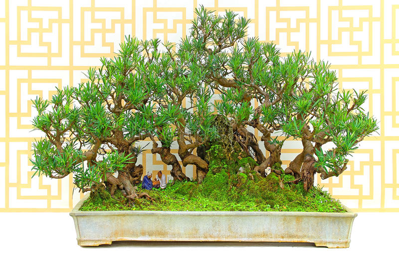 Boom van de taxushout podocarp bonsai in kleipot stock fotografie