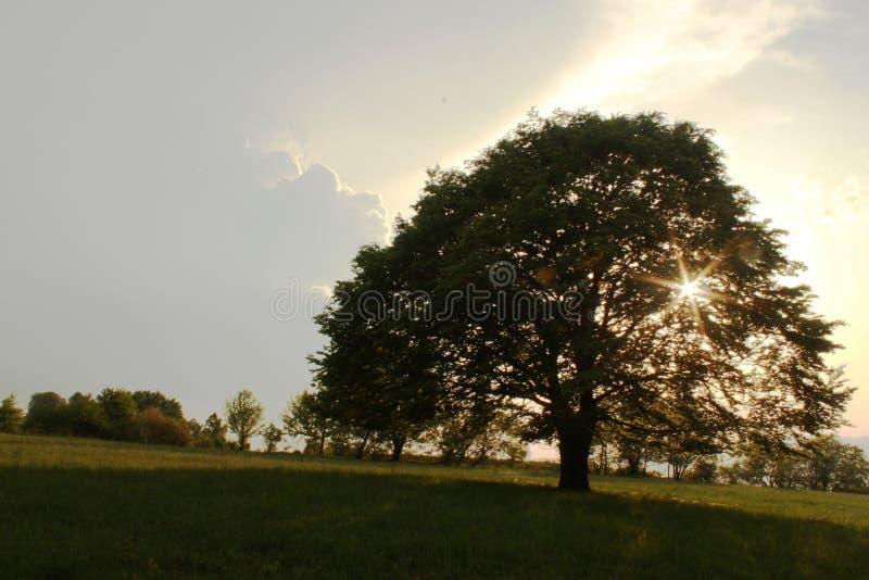 Boom van het leven, Cigel, Slowakije stock foto's
