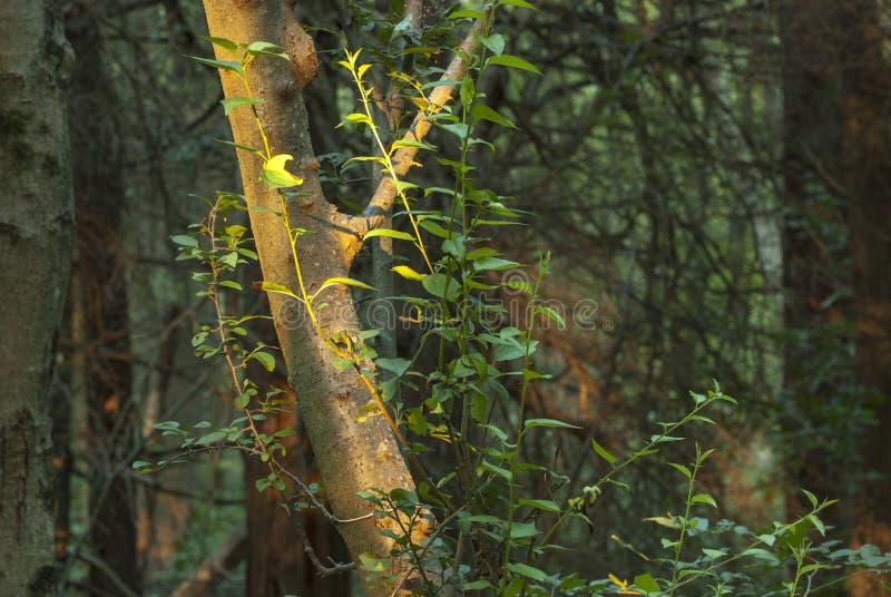 Boomboomstam door zon wordt aangestoken die stock afbeelding