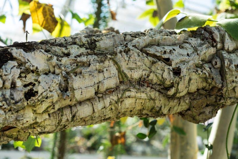 Boomboomstam en bladeren van de cactus van rhipsalisbaccifera als Spaghetticactus die ook wordt bekend royalty-vrije stock foto