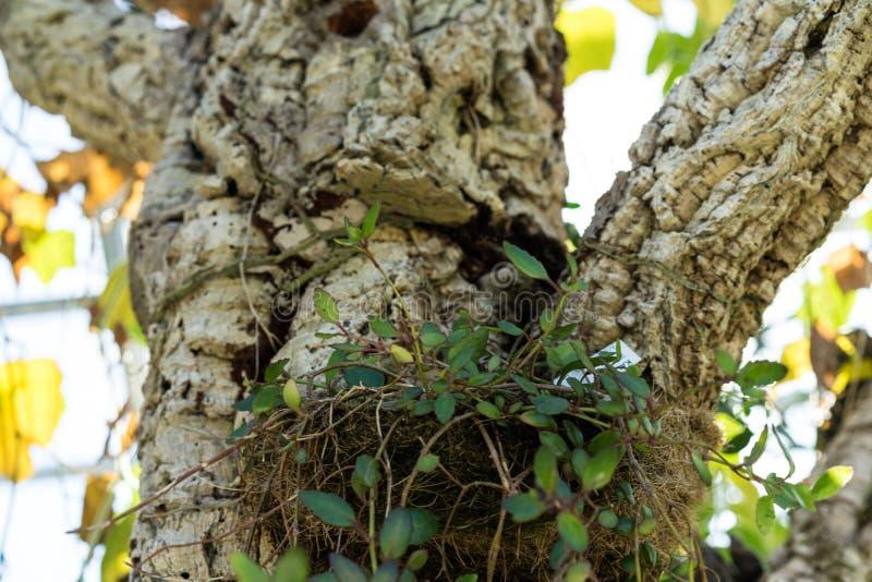 Boomboomstam en bladeren van de cactus van rhipsalisbaccifera als Spaghetticactus die ook wordt bekend royalty-vrije stock fotografie