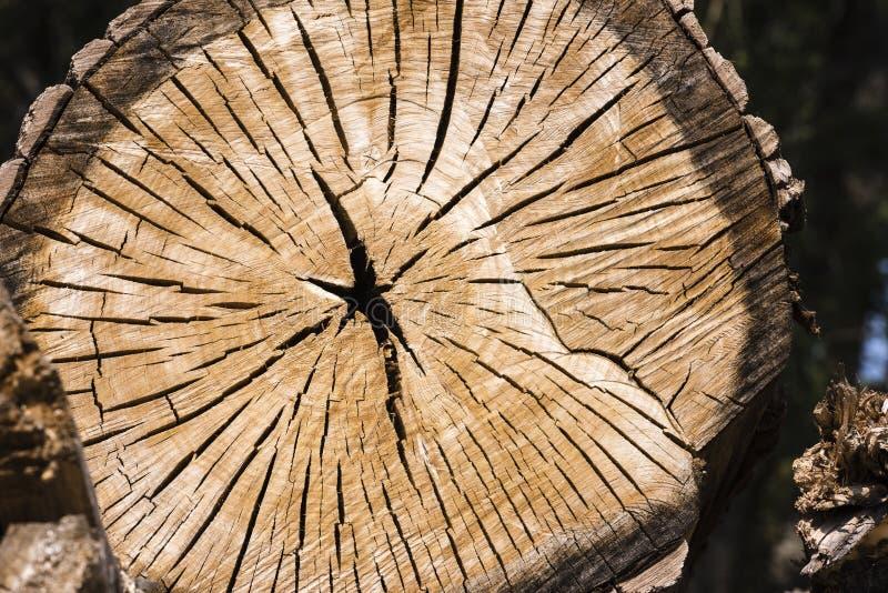 Boomboomstam met mooie houten korrel en jaarringen wordt gesneden die stock afbeeldingen