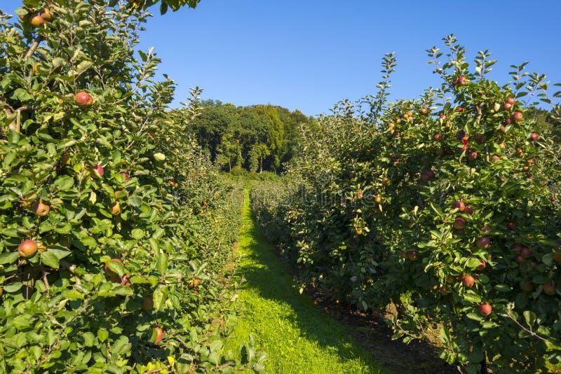 Boomgaard met appelbomen op een gebied stock fotografie