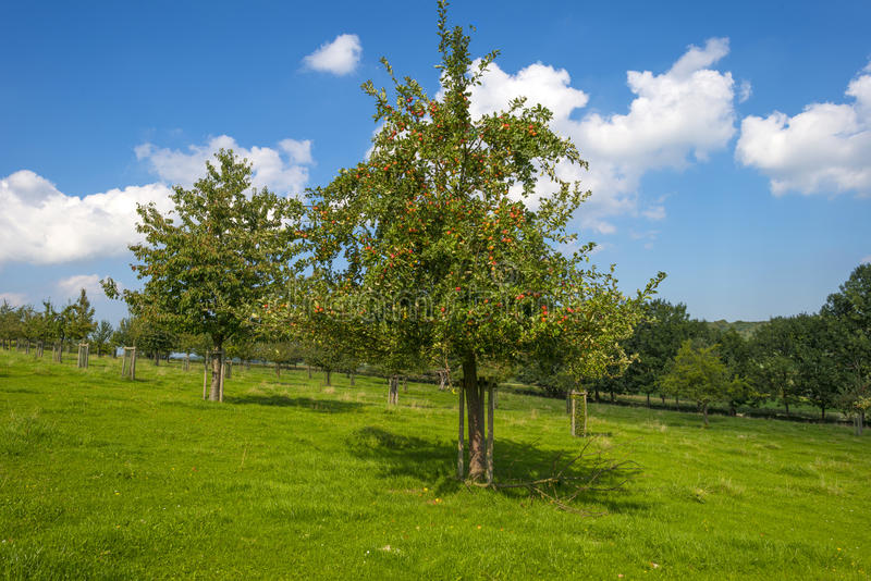 Boomgaard met appelbomen op een gebied stock afbeeldingen