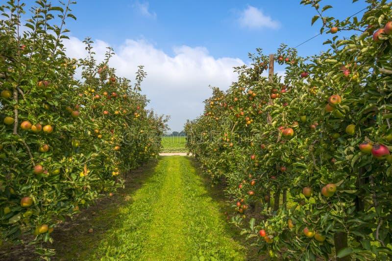 Boomgaard met appelbomen op een gebied royalty-vrije stock afbeelding