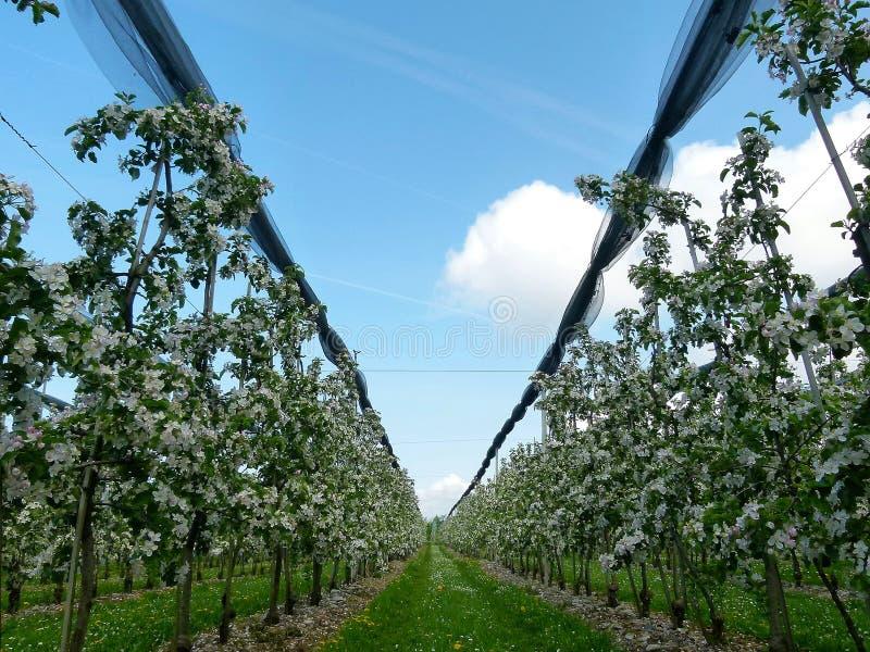 Boomgaard met talloze appelbomen in bloei stock afbeelding
