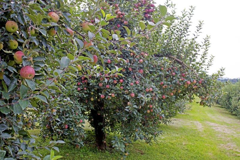 Boomgaard of rode appelen die op een boom hangen stock afbeelding