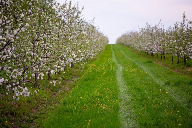 Boomgaard van de de lente de bloeiende appel in bewolkt weer royalty-vrije stock afbeeldingen