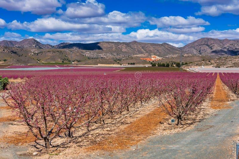 Boomgaarden in bloei Het tot bloei komen van fruitbomen in Cieza, Murcia Spanje stock afbeeldingen