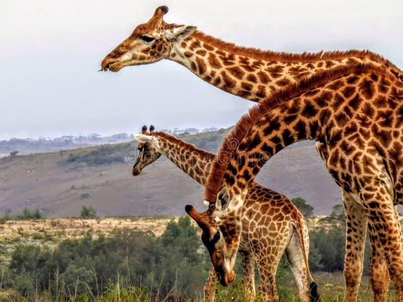Boomgiraffen in de Afrikaanse struik stock fotografie