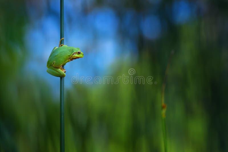 Boomkikker, Hyla-arboreazitting in zijn natuurlijk milieu Mooie groene kikker met groene en blauwe achtergrond De lenteportret o stock fotografie
