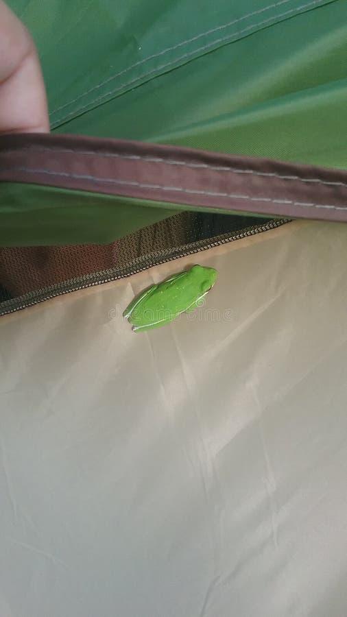 Boomkikker op Tent stock afbeelding