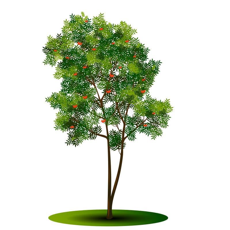 Boomlijsterbes met groene bladeren