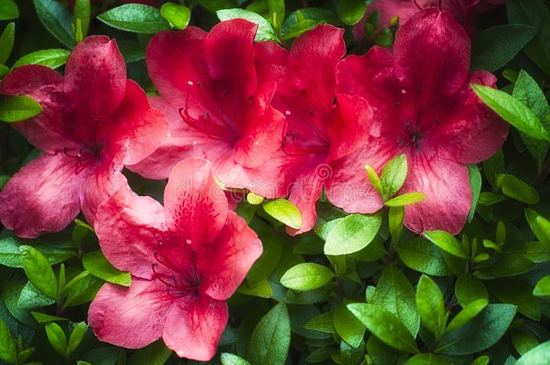 Booms of a Red Azalea. Red Azalea glowing blooms brightens a spring day royalty free stock photos