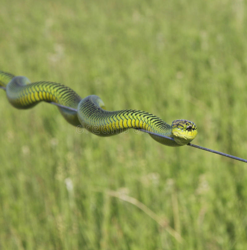 Boomslang (Dispholidus Typus) stock photo