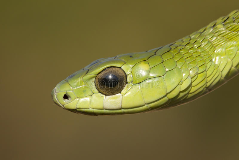 Boomslang snake stock photography