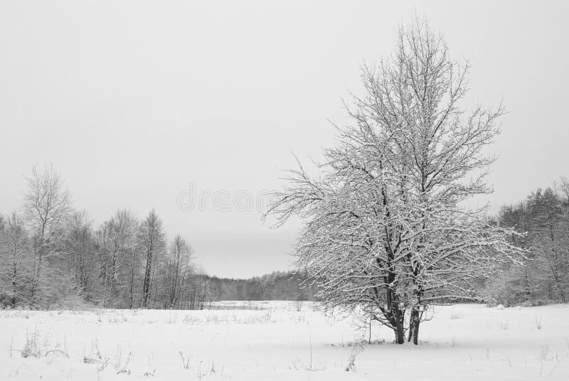 Boomsneeuw op weide in het hout in bewolkte de winteravond die wordt behandeld stock fotografie