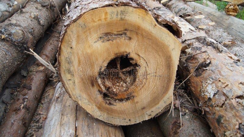 Boomsparren die door een schorskever worden gegeten stock afbeeldingen